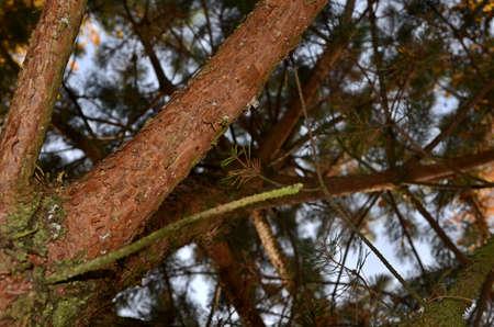 treetrunk: Evergreen tree-trunk