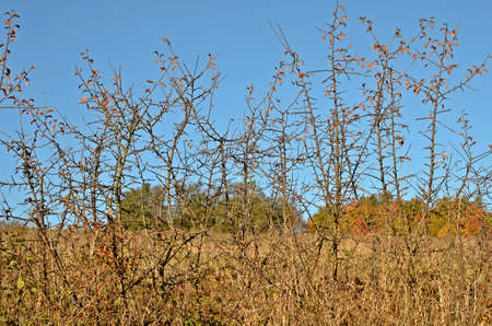 hedge: dry hedge in autumn
