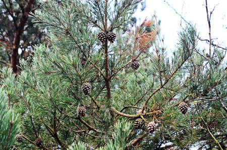 pinetree: pine-tree