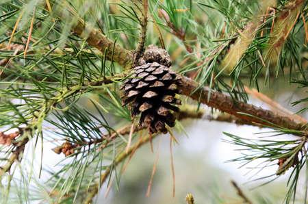 pinetree: pine-cone at the pine-tree Stock Photo