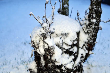 coldness: snow on plants Stock Photo