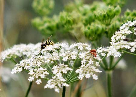 blooming: white blooming herb