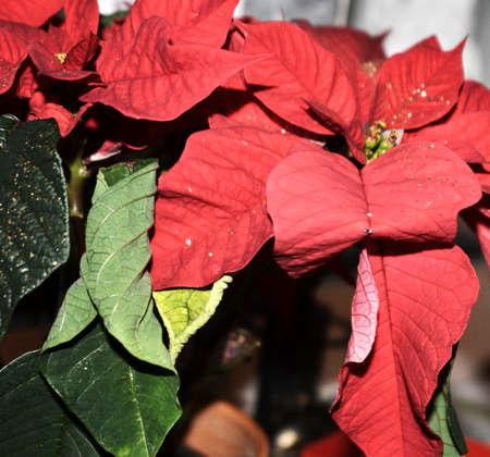 blooming: blooming poinsettia