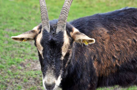 billygoat: Brown Billy-Goat