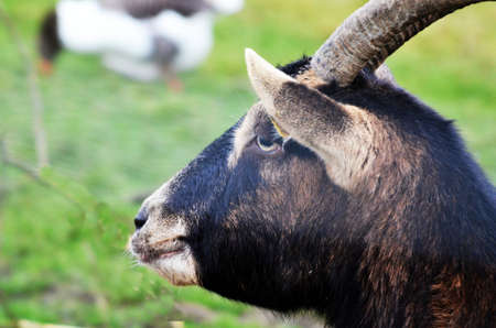 billygoat: Profile of a Billy-Goat
