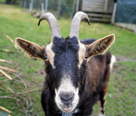 billygoat: billy-goat portrait