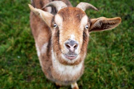 de cabra en el prado verde