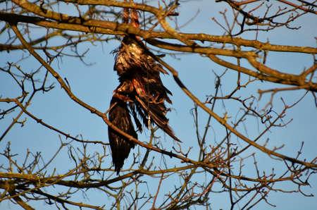 bird of prey: Dead bird of prey in a tree