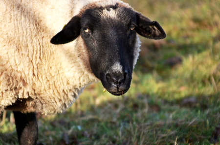 ungulates: Friendly sheep