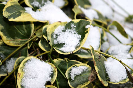 coldness: green leave with white snow