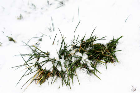 coldness: green frozen grass in the snow