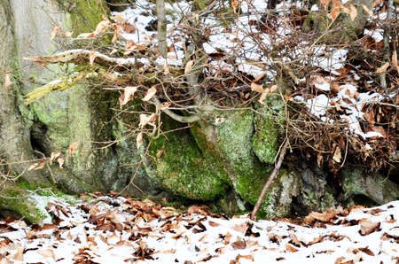 moss and snow on roots of a tree