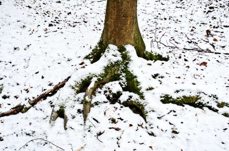 treetrunk: tree-trunk with roots in a snowy forest