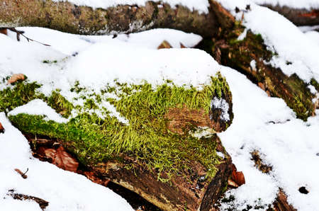 treetrunk: moss and snow on a tree-trunk