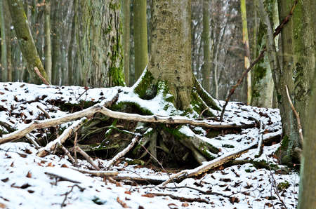 underwood: snow in the forest Stock Photo