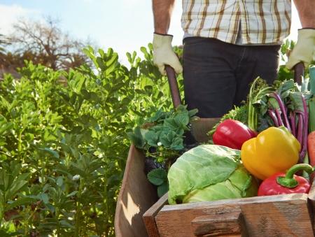 carretilla: Agricultor cosechando verduras org�nicas en una granja de cultivo sostenible de productos de temporada en una carretilla