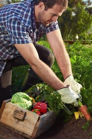 joven agricultor: Joven agricultor cosechar vegetales org�nicos en una granja de cultivo sostenible de productos de temporada