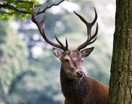 venado: Ciervo de ciervo rojo (Cervus elaphus)  Foto de archivo