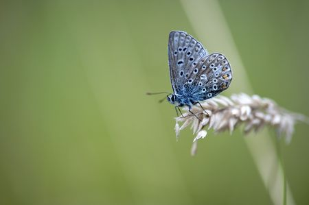 A Common Blue Butterfly Among Grasses photo