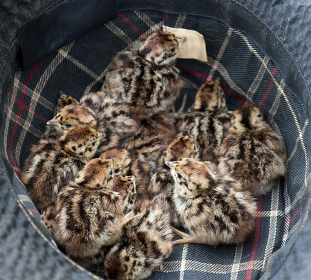 hatched: Fourteen Freshly Hatched Grey Partridge Chicks In A Gamekeepers Hat