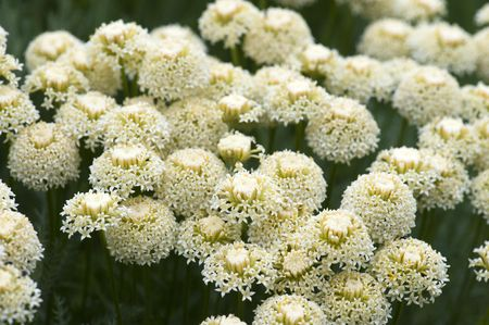Close-up of Achillea (commonly known as Yarrow) photo