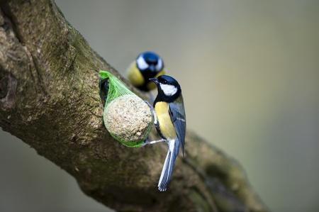 passerine: Un grande Tit Feeding On A sugna Fatball (si prega di notare la gamba anellata)