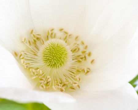 flower close up: Close-up Of A White Anemone Flower Stock Photo