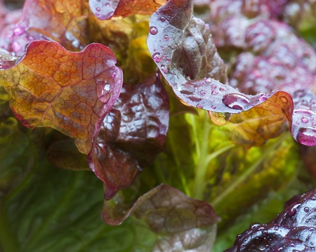 watered: Close-up of Freshly Watered Red Leaf Lettuce  Stock Photo