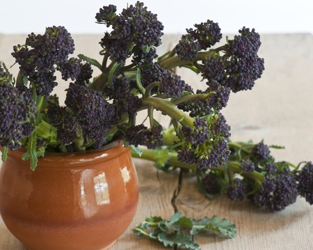 sprouting: Stems of purple Sprouring Broccoli, in a Terracotta Pot.