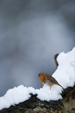 erithacus rubecula: Alert Robin (Erithacus rubecula), on a snow covered tree branch. Stock Photo