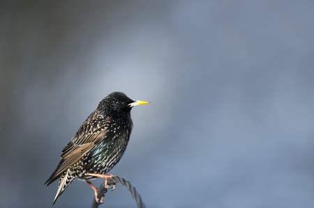 Starling (Sturnus vulgaris), perching on a wrough iron bird feeder. photo