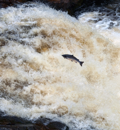 salmon leaping: A Leaping Salmon, at Shin Falls, Scotland Stock Photo