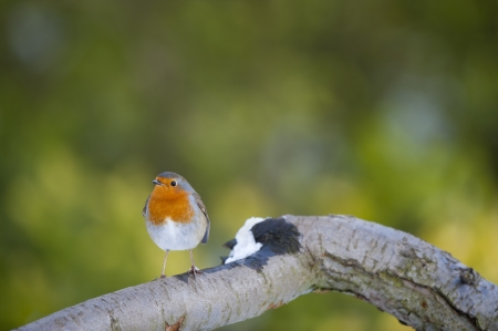 erithacus: Robin (Erithacus rubecula), Perching on a Tree Branch Stock Photo