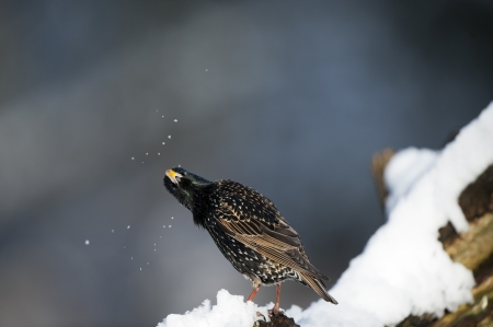 songbird: Starling, shaking off the snow, on a winters day. Stock Photo