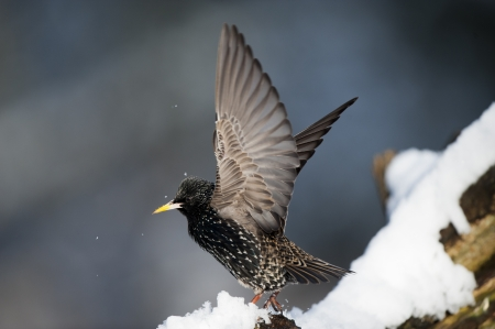 songbird: Starling, shaking snow off its wings, on a winters day. Stock Photo