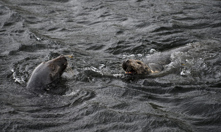greys: Greys Seals at Eyemouth, Scottish Borders.