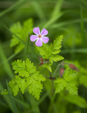 widespread: Herb Robert Growing On A Field Side, Highland Perthshire, Scotland.