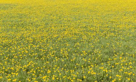 dandelion field: Dandelion field in Finnish countryside.