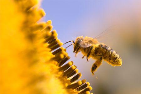 Macro de una abeja melífera en un girasol. La abeja está lleno de polen de la flor.
