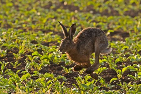 Hare Running through a field in the early morning light.
