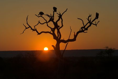 Sunset in Kruger Park - three vultures are perching on dead tree. Stock Photo