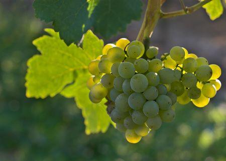 uvas vino: Uvas de vino maduras que cuelgan en la vid