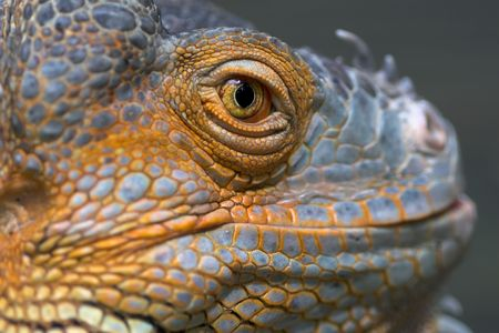 Closeup of lizard. Stock Photo