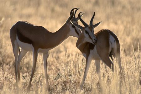 necking: Two spingbucks in the evening sun. The picture was taken in the Kgalagadi Transfrontier Park (Kalahari) in South Africa.