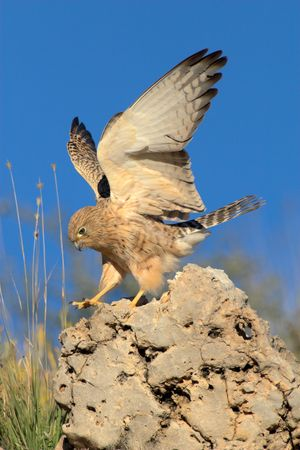 Lesser kestrel landing on rock. This picture was taken in the Kgalagadi Transfrontier Park (Kalahari) in South Africa. Stock Photo