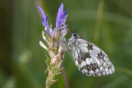 Closeup of a marbled white butterfly sitting on a flower Stock Photo - 877460