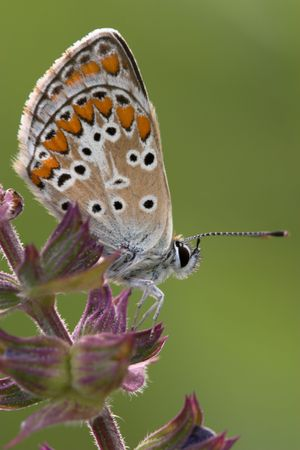 Closeup of a coomon blue butterfly sitting on a flower Stock Photo - 877461