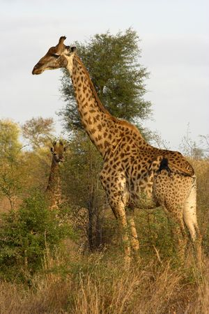 Portrait of a giraffe standing in the savanna. A young giraffe can be seen in the background. photo