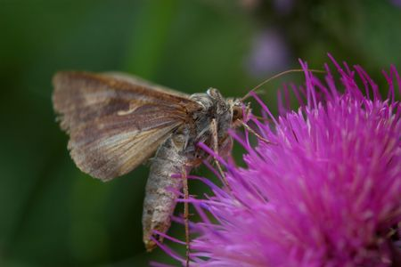 Closeup of a moth sitting and feeding on a lilac flower. Stock Photo - 877512