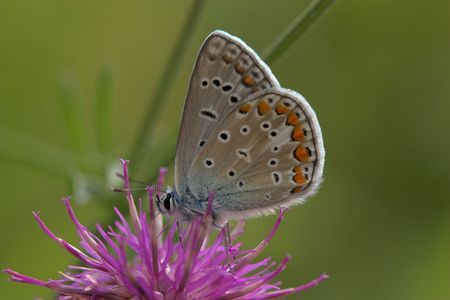 Closeup of a common blue butterfly sitting on a flower. photo